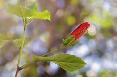 Zbliżenie poślubnika pączka czerwony kwiat na ogródzie Fotografia Stock