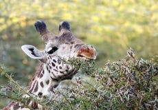 Zbliżenie pokazuje rany na usta żyrafa Obraz Royalty Free