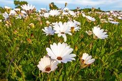 Zbliżenie pole Białe Dzikie stokrotki Fotografia Royalty Free