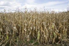 Zbliżenie pole kukurydzany przygotowywający dla żniwa Zdjęcia Royalty Free