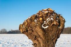 Zbliżenie pollarded wierzba w śnieżnym krajobrazie fotografia stock