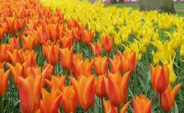 Zbliżenie pomarańczowi i żółci tulipanowi kwiaty obraz royalty free