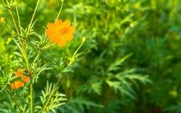 Zbliżenie Pomarańczowy Francuski nagietek Zdjęcie Stock