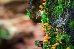 Zbliżenie pomarańczowy grzyb w mech zdjęcie stock