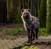 Zbli?enie portret ?aciasta hiena, Dziki ssak od pustyni Africa obraz royalty free
