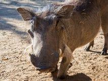 Zbliżenie portret życzliwy warthog klęczenie na piaskowatej ziemi blisko Chobe parka narodowego, Botswana, Afryka Zdjęcia Royalty Free