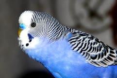 Zbli?enie portret b??kitna falista papuga na zamazanym tle zdjęcie stock