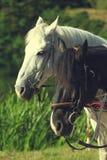 Zbliżenie portret białe i czarne koń głowy zdjęcia royalty free