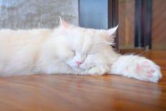 Zbliżenie portret biały Maine coon kota dosypianie obrazy stock