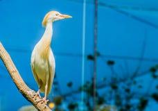 Zbliżenie portret bydła egret obsiadanie na gałąź, kosmopolityczny ptasi specie zdjęcie royalty free