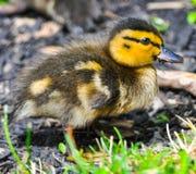 Zbliżenie portret dziecko kaczki odprowadzenie na zielonej trawie zdjęcia stock