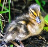 Zbliżenie portret dziecko kaczki pozycja na zielonej trawie fotografia royalty free