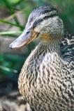 Zbliżenie portret macierzysty kaczki dopatrywanie pod za zielonej trawie zdjęcia royalty free