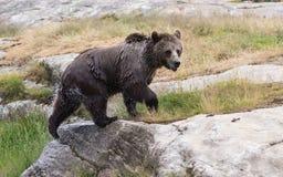 Zbliżenie portret mokry dorosły niedźwiedź brunatny trząść swój ciało z mnóstwo pluśnięciami po pływać Ursus arctos fotografia stock
