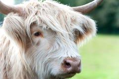 Zbliżenie portret piękna górska szkocka kosmata śmietankowa krowa Zdjęcia Stock