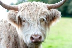 Zbliżenie portret piękna górska szkocka kosmata śmietankowa krowa Fotografia Stock