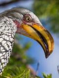 Zbliżenie portret piękny kolorowy Południowy wystawiający rachunek dzioborożec ptak z długim belfrem, Botswana, Afryka Zdjęcia Royalty Free