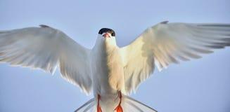 Zbliżenie portret Pospolity Tern (mostku hirundo) Dorosły pospolity tern Obrazy Royalty Free