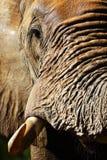 Zbliżenie portret słonia byk Fotografia Royalty Free