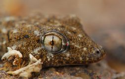 Oko gekon zdjęcie stock