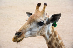 Zbliżenie portret uśmiechnięta żyrafa na piaska tle Obraz Royalty Free