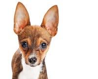 Zbliżenie portreta chihuahua Śliczny szczeniak Zdjęcie Stock