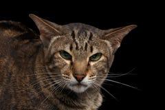 Zbliżenie portreta Gniewny Orientalny kot Patrzeje w kamery czerni Odizolowywającym zdjęcie royalty free