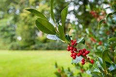 Zbliżenie Pospolita holly gałąź z czerwonymi jagodami Zdjęcia Royalty Free