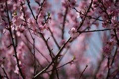 Zbliżenie przy migdałowego drzewa okwitnięciami Obraz Royalty Free