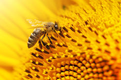 Zbliżenie pszczoła na słoneczniku Fotografia Royalty Free