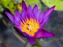 Zbliżenie pszczoła w różowym lotosowym kwiacie Zdjęcia Royalty Free