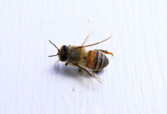 Zbliżenie pszczoła z białym tłem Fotografia Royalty Free