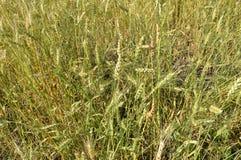 Zbliżenie pszeniczni ucho na polu, tło dojrzenie zieleni ucho pszeniczni pola Fotografia Royalty Free