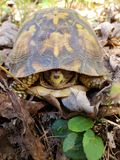 Zbliżenie pudełkowaty żółw zdjęcie royalty free