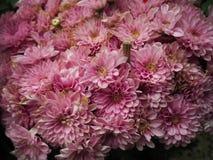 Zbliżenie purpur kwiatu tło Fotografia Royalty Free
