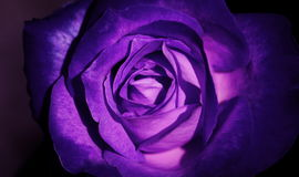 Zbliżenie purpur róży rocznika piękny świeży styl Obrazy Royalty Free