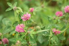 Zbliżenie purpurowa koniczyna w łące dzikie kwiaty lato obraz stock