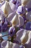 Zbliżenie Purpurowe i Białe żałość Kwitnie II Obrazy Stock