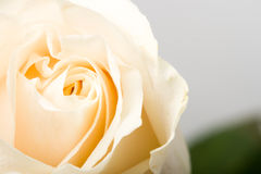zbliżenie różę white Obraz Stock