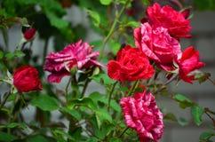Zbliżenie róża krzak z pięknymi kwiatami z pasiastymi płatkami i zieleń liśćmi czerwonymi i białymi zdjęcia stock