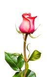 zbliżenie różową różę Zdjęcia Royalty Free