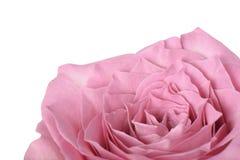 zbliżenie różową różę Obrazy Royalty Free