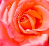 zbliżenie różową różę Obrazy Stock