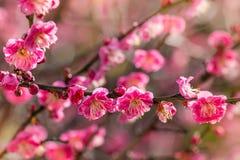 Zbliżenie różowa śliwka kwitnie w kwiacie Fotografia Royalty Free