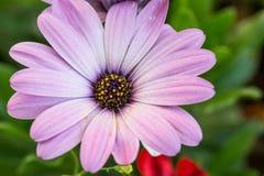 Zbliżenie różowa daisybush kwiatu roślina, Osteospermum ecklonis Obrazy Stock