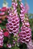 Zbliżenie różowe naparstnicy Zdjęcie Stock