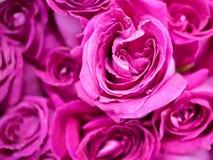 zbliżenie różowe róże Fotografia Royalty Free