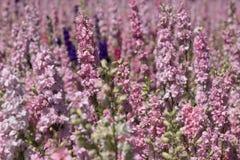 Zbliżenie różowi delphiniums przy kwiatu gospodarstwem rolnym przy Wick, Pershore, Worcestershire, UK Płatki używają robić ślubny obraz stock