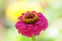 Zbliżenie różowy cynia kwiat Zdjęcie Royalty Free