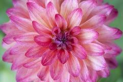 Zbliżenie Różowy dalia kwiat Zdjęcie Stock
